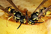 Two wasps eating an apple