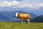 Cow in an Alpine pasture