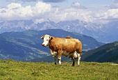 Kuh auf einer Alpenwiese