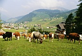 Herd of cows grazing in a pasture in the Dolomites