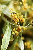 Dried lime flowers (close-up)