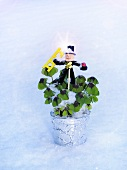 'Lucky clover' (Oxalis) in flowerpot with chimney sweep in snow