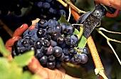 Weintrauben werden abgeschnitten