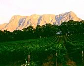 Weingut Thelema Mountains in Stellenbosch, Südafrika, Abendsonne