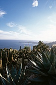 View of cactus garden by the sea