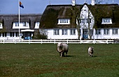 Two sheep in front of thatched house in Westerland, Sylt, Germany