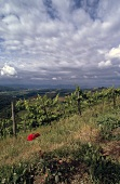 View of vineyard in Styria
