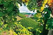 Das Weingut Laible in Durbach mitten in der Reblandschaft