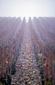 Weinterrassen in Herbstfarben in der Champagne