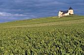 Grüne Weinlandschaft in der Champagne