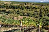 Terraced vineyards in Palatinate, Sonnenberg