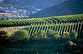 View of vineyards in Palatinate, Leinsweiler, Germany