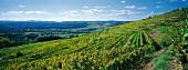 Weinlandschaft im Kamptal, Österreich
