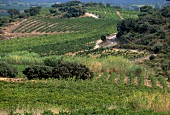 View of vineyards in Languedoc
