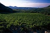 Vineyards in Languedoc, France