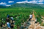 Weinernte im Languedoc, Domaine des Grecaux