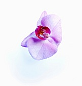 Two white and pink orchids on white background