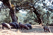 Spanish Iberico pigs grazing in the open under trees