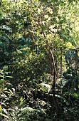 Australiens Regenwald.
