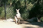 2 Känguruhs liegen, eins steht, im Hintergrund Maschendrahtzaun.