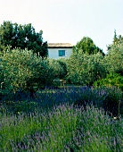 View of blooming lavenders in garden at front of house, France
