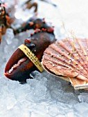 A scallop shell and a lobster claw on ice