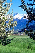 View of snowcapped mountain and village through apple tree, Val Venosta, South Tyrol
