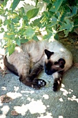 Siamese cat lying in shade of bush
