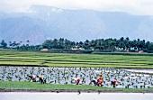 Einheimische bei der Arbeit auf dem Reisfeld in Südindien