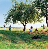 People collecting apple fallen under apple tree