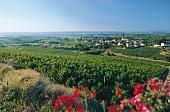 Das Villié-Morgon im Weinanbaugebiet Beaujolais