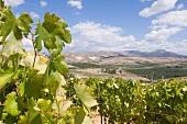 Blick durch Rebstöcke auf sizilianische Weinlandschaft