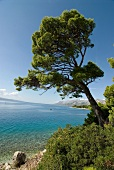 View of pine tree overlooking sea, mountains and blue sky