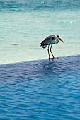 Heron standing in water, Dhigufinolhu Island, Maldives