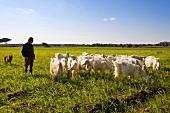Shepard standing with herd of goat in pasture, Apulia, Italy
