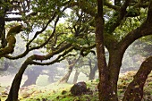 Madeira: Märchenhafter Lorbeerwald, grün