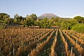 Tomato farm overlooking Mount Vesuvius, Italy