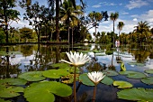 Tourist strolling in garden with pond having white lotus