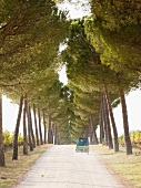 View of van in pine avenue with vineyards on sides, Umbria, Italy