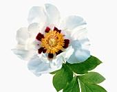 Name: Paeonia suffruticosa Rock´s variety, Arnold-Aboretum-Form