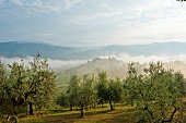 View of olive groves and yards covered with fog at Montefioralle, Tuscany, Italy
