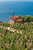 Italien, Toskana, Elba, Blick auf Weingärten direkt am Meer