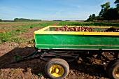 Trailer filled with potatoes on farm at okohof Kuhhorst in Brandenburg, Germany