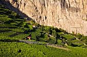 Wallis, Chamoson, Weinterrassen an der Steilwand