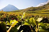 Wallis, Weinfelder im unteren Wallis im Sonnenschein