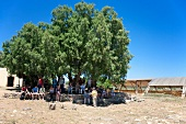 Tourist under tree near ruin Malia Minoan Palace in Crete, Greece