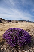 View of purple thyme bush on dried grass land