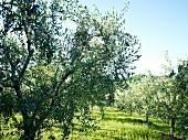 Toskana, Region Marken, Olivenhaine