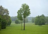 Sachsen: Bad Muskau, Muskauer Park, Wiese, Bäume, grün