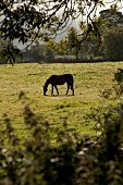Grazing black horse on pasture in Armagh, Ireland, UK